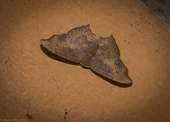 Rhombophylla xylinopis (dustaway) Tags: arthropoda australianwildlife australia insecta lepidoptera tamborinemountain mounttamborine sequeensland queensland australianmoths australianinsects uraniidae epipleminae rhombophylla rhombophyllaxylinopis