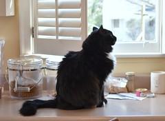 Batman in profile (rootcrop54) Tags: batman black tuxedo male cat profile longhair longhaired kitchen counter window neko macska kedi 猫 kočka kissa γάτα köttur kucing gatto 고양이 kaķis katė katt katze katzen kot кошка mačka gatos maček kitteh chat ネコ