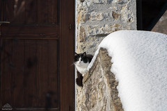 Ziva Ready For Downhill Skiing ❅ (Xena*best friend*) Tags: zivadavid zd downhillskiing cats whiskers feline katzen gatto gato chats furry fur pussycat feral tiger pets kittens kitty animals piedmontitaly piemonte canoneos760d italy wood woods wildanimals wild paws calico markings ©allrightsreserved purr digitalrebelt6s efs18135mm flickr outdoor animal pet photo nature winter cold catlover snow frozen freezing winterwonderland ilovewinter ilovesnow catsinthesnow catshavingfuninthesnow wonderfulwinter snowcat