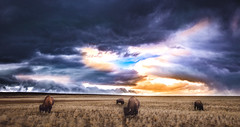 Bison on Mountain5 (1 of 1) (Jami Bollschweiler Photography) Tags: bison bufffalo stormy utah wildlife photography antelope island