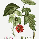 Red Paper Mullberry flower thumbnail