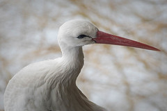 Cigogne (Valérie C) Tags: cigogne birds animal wild nature beak stork white