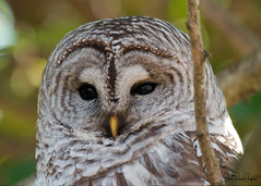 barred owl DSC_2736