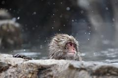 Pensive monkey (Elios.k) Tags: horizontal outdoors nopeople monkey one wet snowmonkey snow snowing bokeh snowfalling cold warmspring bath bathing onsen hotspring water animal nature japanesemacaque japanesesnowmonkey winter fur dof depthoffield focusinforeground backgroundblur colour color travel travelling december 2017 vacation canon 5dmkii camera photography yudanaka yudanakaonsen shibuonsen yamanouchiarea jigokudanivalley monkeypark joshinetsukogennationalpark yokoyuriver chūbu chubu kōshinetsu naganoprefecture honsu asia japan jigokudaniyaenkoen swimming