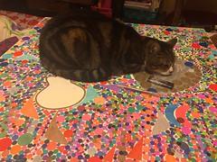 lili-l'art-de-la-sieste© (alexandrarougeron) Tags: photo alexandra rougeron chat chatte bébé poilue animal sauvage felin chou beauté flickr lili loulou poupouce