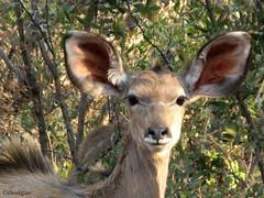 Animal portraits - Kudu cow at Loskop South Africa (derekngill) Tags: africa southafrica animals antelope wildlife