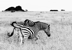 Confusion (Zoom58.9) Tags: rocks grasses field animals zebras safari africa godwana felsen gräser outside draussen tiere wildtiere wildlife afrika nationalpark landscape nature landschaft natur
