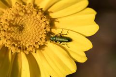 IMG_0944 Macro (Fernando Sa Rapita) Tags: baleares canon canoneos eos1300d mallorca sarapita sigma sigma105mm sigmalens macro naturaleza nature bug bicho flower flor psilothrixviridicoerulea psilothrix escarabajo beetle