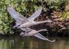 Cygnet Fly-by (ukmjk) Tags: cygnet swan parkhall lake stoke staffordshire nikon nikkor d500 200500 vr bird wildlife