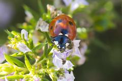Coccinellidae, the ladybugs or ladybird beetles - Seven-Spot Ladybird Beetle, also known as Seven-Spot Ladybug, Coccinella septempunctata, family Coccinellidae (the ladybugs or ladybird beetles). (Thomas Langhans) Tags: insect coleoptera ladybird beetle sevenspot ladybug coccinella septempunctata coccinellidae