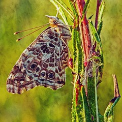 Painted Lady (garywitte845) Tags: butterfly paintedlady texture square 16x16 ironweed spiderweb morninglight dew