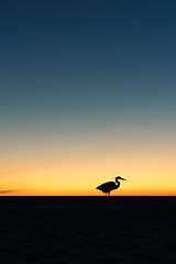 Heron at Sunset (mikewhalenphotography) Tags: birds destin florida herons silhouettes silhouette bird heron sunset coast aviary animal wildlife nature wilderness