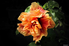 orange triple hibiscus (Christine_S.) Tags: japan nature garden ibarakiflowerpark eos canon mirrorless m5 explore flowers