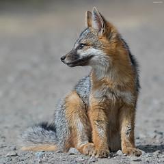 Waiting for Mom (Shravan R. Sundaram) Tags: gray fox grayfox 2015 canon 2019 eos 7dmarkii 400mm