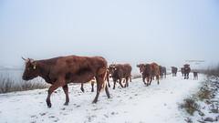 The journey (Ingeborg Ruyken) Tags: sneeuw morning ochtend koeien empel rodegeuzen cows 500pxs mist empelsedijk natuurfotografie fog instagram koornwaard flickr snow
