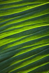 Photosynthétique (Gerard Hermand) Tags: 1903297779 gerardhermand france paris canon eos5dmarkii serresdauteuil green greenhouse serre vert glasshouse plante plant feuille leaf pli fold