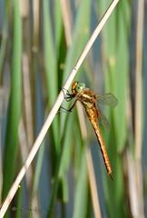 Aeshna isosceles (Müller, 1767) (ajmtster) Tags: macrofotografía macro insecto invertebrados odonatos libélula libelulas esnidos aeshnaisosceles isosceles aeshna amt dragonfly dragonflies