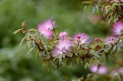 Otros colores del otoño... (Irene Carbonell) Tags: flores flowers flower floresrosadas nature naturaleza nikon 50mm