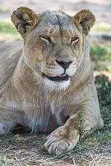 Content lioness (Tambako the Jaguar) Tags: lion big wild cat female lioness lying posing portrait face close happy content tongue cute grass safari lionsafaripark johannesburg southafrica nikon d5