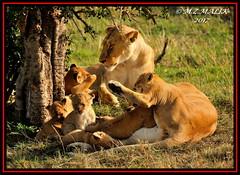 FEMALE LIONESS (Panthera leo) WITH CUBS......MASAI MARA......SEPT 2017. (M Z Malik) Tags: nikon d3x 200400mm14afs kenya africa safari wildlife masaimara keekoroklodge exoticafricanwildlife exoticafricancats flickrbigcats lioness lioncubs leo ngc