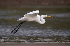 Great White Egret (ToriAndrewsPhotography) Tags: greatwhiteegret great white egret river tarcoles costa rica photography andrews tori wader