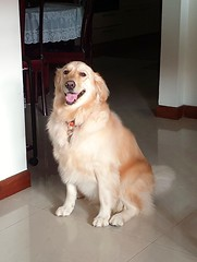 Bailey the Goldie sitting pretty this morning. (M-Gang) Tags: baileythegoldie goldenretriever goldie dog doggie pet friend retriever