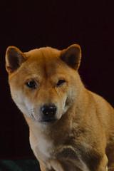 Pedro 040119-17 (martinritter1) Tags: shiba inu dog hund tier
