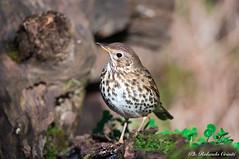 Tordo bottaccio _002 (Rolando CRINITI) Tags: tordobottaccio uccelli uccello birds ornitologia avifauna castellettomerli natura