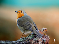 Looking to the skies (spennells pensioner) Tags: robinredbreast perched winter branch looking stargazing bird animal feathers wings