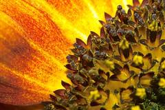 Sunflower (andreasmaurer89) Tags: macro spring sunflower zeiss 50mm extentiontubes sigma sd14 sigmasd14 m42 vintagelens