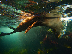Upside down seal (Cositos :)) Tags: seal foca astralia underwater photography wide angle free diving olympus 918mm australia sea mar fotosub arctocephalus pusillus fur