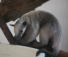 G08A4386.jpg (Mark Dumont) Tags: zoo mark dumont tamandua cincinnati