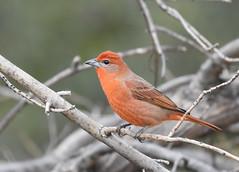 Hepatic Tanager (Christopher Lindsey) Tags: birds birding arizona santaritalodge maderacanyon santacruzcounty