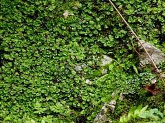 P1050945 (Hiker Bob) Tags: 20190220 bryophytes liverwort meanderthals sangabrielmountains sangabrielriver westfork