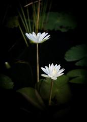 white manel flower (Chamikajperera) Tags: sri lanka ceylon flower landscape
