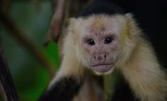 Capuchin monkey (Rosalia alpina) Tags: animal monkey nature wild wildlife capuchin costarica puravida corcovadonationalpark eyes feelings expression expressive 300mm f4 300mmf4
