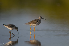 Patas amarillas mayor / Greater yellowlegs vs  Patas Amarillas Menor / Lesser Yellowlegs (Tringa flavipes) (Gogolac) Tags: 2019 aves birdphotography birdie birds canon7dmii fauna invierno lesseryellowlegs location patasamarillasmenor season tringaflavipes winter year birdspot birdingrd birdsspotters republicadominicana salinas