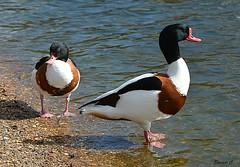 Mr & Mrs Shelduck (Eleanor (No multiple invites please)) Tags: birds ducks shelducks maleshelduck femaleshelduck water stjamesspark london nikond7100 march2019