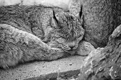Lynx (bob august) Tags: 2019 2019©rpd'aoust animals animaux aperture3 bw blackwhite canada d90 fauneanimalière hiver lynx march mars montréal nikkor18300mm nikon nikond90 noiretblanc winter zoo zooecomuseum montréal québec