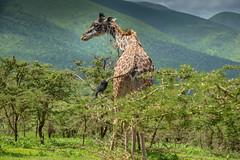Tall (lamydude) Tags: safari ngorongoro giraffe tanzania
