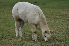 alpaca (jam3svick3rs) Tags: alpaca field animal largeanimal nature gardens elshamhall