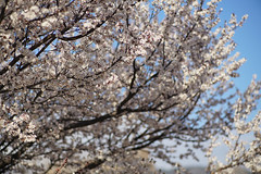 sakura_59 (gnsk) Tags: contax planar 1485 85mm f14 carl zeiss t✳︎ ilce7rm2 α7rⅱ a7rⅱ cherry blossom