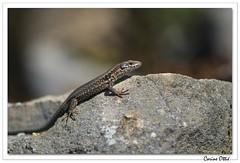 Reptiles en Alsace : lézard des murailles malicieux. (C. OTTIE et J-Y KERMORVANT) Tags: nature animaux reptiles lézards lézarddesmurailles alsace france