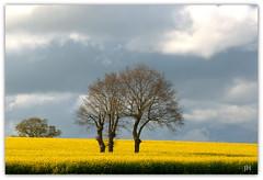 en plein champ !! (au35) Tags: colza champ pré arbres tree ciel sky nuages nikon d5000 yellow jaune
