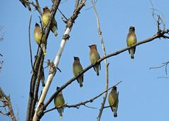 Cedar Waxwings (Kelly Preheim) Tags: cedar waxwings