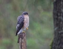 07 04 2019 (cathyk31) Tags: oiseau epervierdeurope accipiternisus accipitridés accipitriformes eurasiansparrowhawk bird