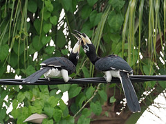 Oriental Pied Hornbill (ChongBT) Tags: nature natural wild life wildlife animal bird avian ornithology watching birdwatching malaysia olympus anthracoceros albirostris oriental pied hornbill urban female