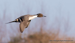 Pintail..can you see why? (snapp3r) Tags: pintail duck slimbridge wwt gloucester uk canon7d wetland trust bird flight