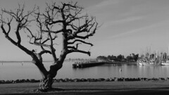Good & Wicked (Rand Luv'n Life) Tags: odc our daily challenge wicked tree harbor san diego california south bay marina dock sailboats downtown skyline buildings rocks grass monochrome blackandwhite outdoor sailing sky clouds