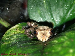 Theloderma asperum (liam.frisson) Tags: amphibian frog asperum theloderma